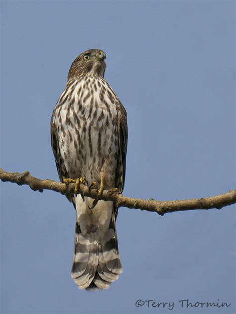 cooper s hawk juvenile 9c vancouver island nature