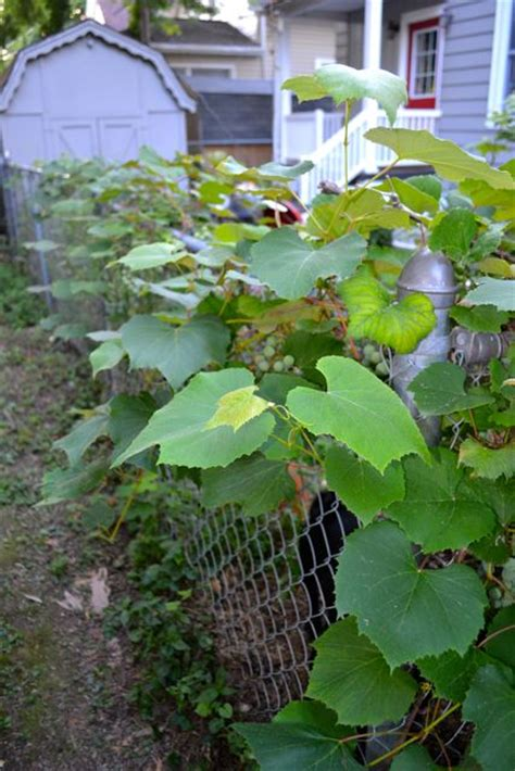 backyard grapes the grape vines newlywoodwards