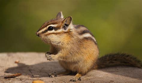 a chipmunk chipmunk key facts species information