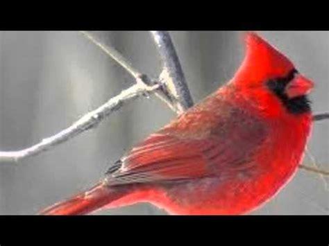 cardinal sounds youtube