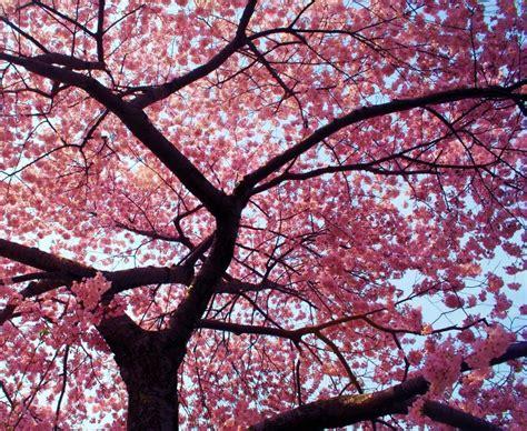 a cherry tree blossom enb 150