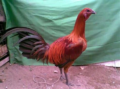 videos de mejores razas de gallos navajeros peruanos navajero peruano gallos finos pinterest