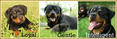 facts about rottweilers rottweiler facts a of rottweilers