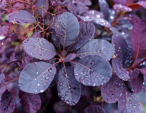 top  plants  purple leaves  english garden