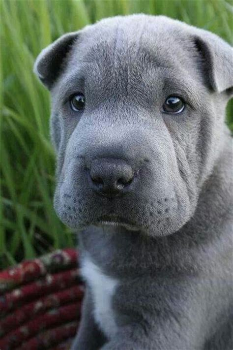 names for silver dogs look at that silver sharpei shar pei puppy dogs shar pei blue