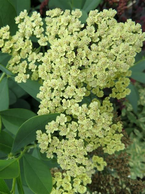 331 best images about flowers yarrows achillea on