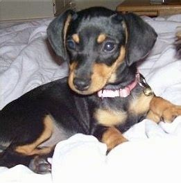 chihuahua weiner chiweenie breed pictures
