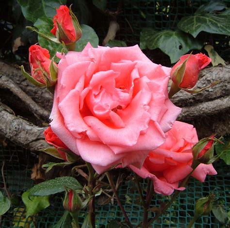 imagenes de flores rositas fotos de flores rosas de varios colores