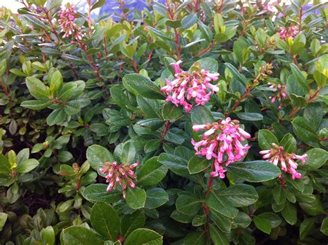 shrub with pink flowers escallonia flowers yes to garden