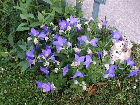 Balon Flower balloon flower pictures meanings of balloon flowers blue balloon flowers