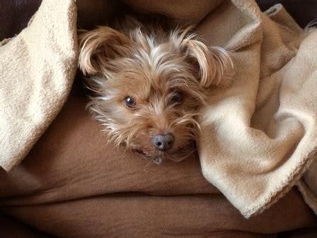 irritable bowel in dogs inflammatory bowel disease in dogs