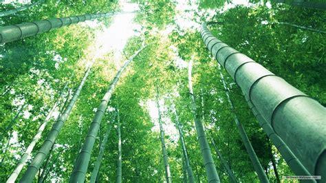 Bamboo Forest Wallpaper Room - forest wallpaper for room wallpapersafari