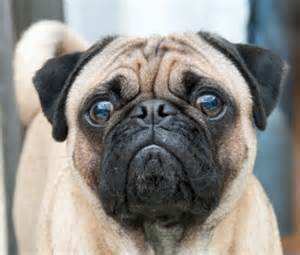 nose pug the pug s hallowed nasal fold maijaharrington