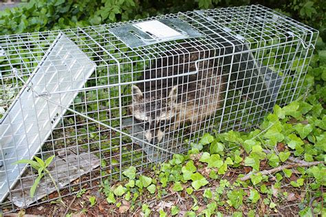 how to keep raccoons out of your garden motion sensor