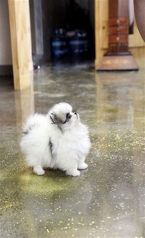 how to take care of a teacup pomeranian 20 cutest teacup dogs in the world fallinpets
