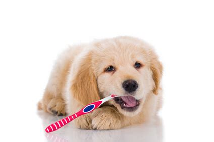 golden retriever savvy brushing puppy teeth 101