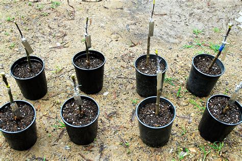 bench grafting apple trees greenhouse irrigation the transplant and potting bench