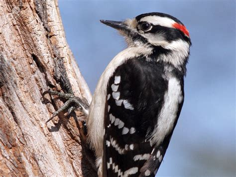 downy woodpecker 3d 174 pet products3d 174 pet products