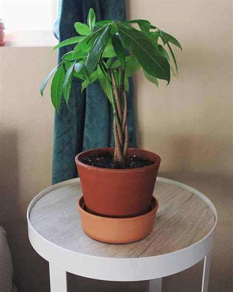 indoor air purifying plants   safe  pets