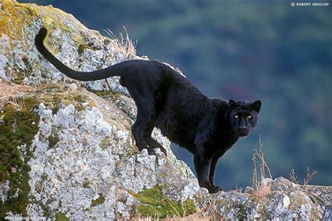 daniel farhan vb jenis jenis macan dunia