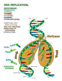 dna replication coloring worksheet free coloring pages of dna replication