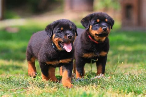 rottweiler breeds rottweiler breed animal images pictures hd wallpapers
