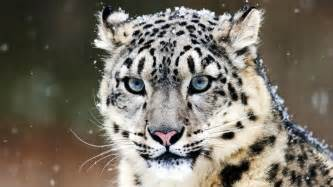 How Many Jaguars Are Left In The World Today Blue Snow Leopard Wallpaper 1920x1080 Hd