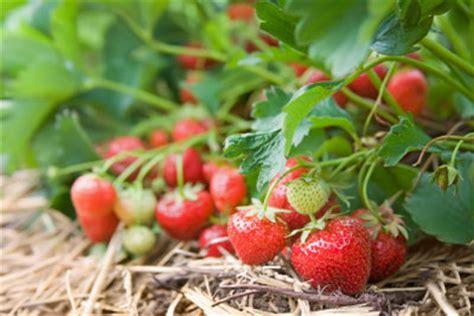 Erdbeeren Wann Pflanzen 4733 by Anleitungen Im Bereich Garten Zum Thema Erdbeere