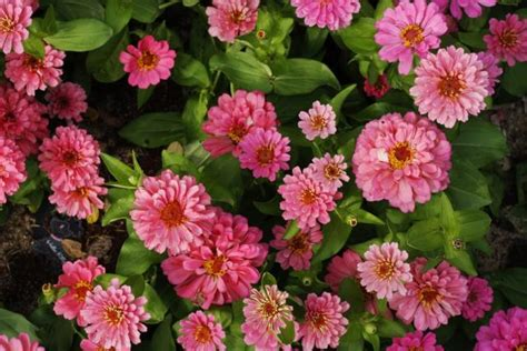 pink annual flowers pics jpg hi res 720p hd