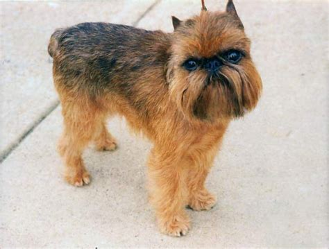 brussels griffon puppy black brussels griffon puppy breeds picture