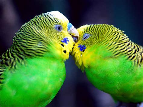 parrots  love wallpaper parrots animals wallpapers