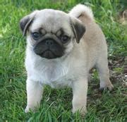 pug puppies for sale in edinburgh dogs for sale puppies for sale edinburgh ads edinburgh dogs for sale puppies for