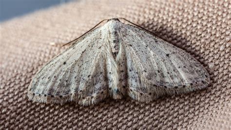 Pictures Of Moths That Eat Clothes