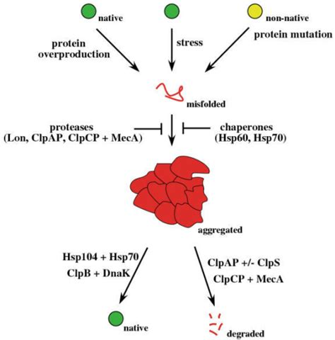 protein aggregation prevention and reversion of protein aggregation by chap