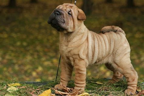 sharpe puppies sharpay pups breeds picture