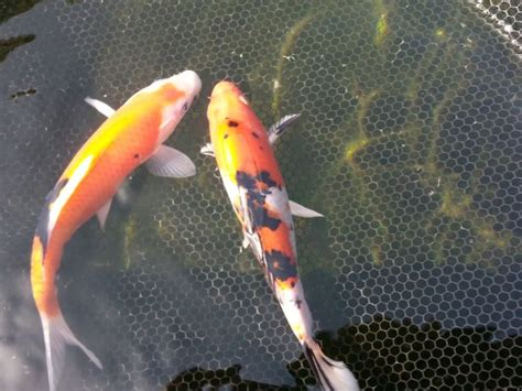 koi fish and new year 9 10 quot koi fish coleford gloucestershire pets4homes