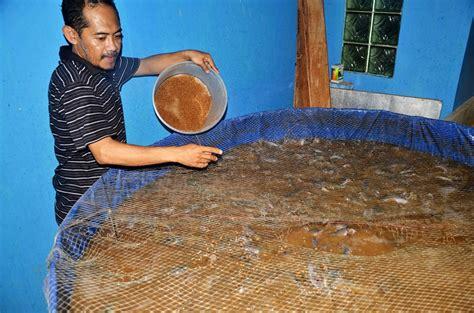 Pakan Ikan Lele 1000 Ekor membangun ketahanan pangan di penghujung negeri dengan