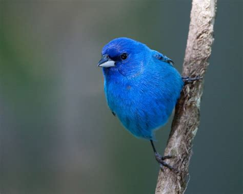 backyard wildlife color of the week blue the national