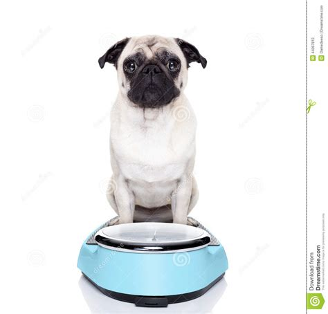 pug diet plan on scale stock photo image 44067810