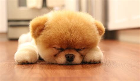 boo the cutest in the world the cutest puppy in the world search engine at search