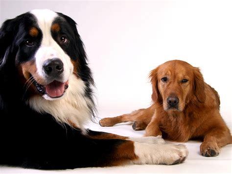 degenerative myelopathy golden retriever degenerative myelopathy dogs got news from of missouri