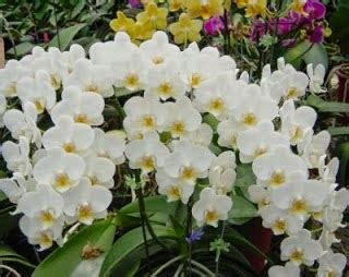 Tanaman Anggrek Bulan Koleksi 5 koleksi tanaman hias anggrek bulan phalaenopsis amabilis