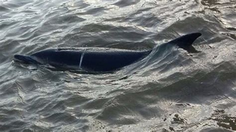thames river dolphin body of thames dolphin found washed up on riverbank itv news