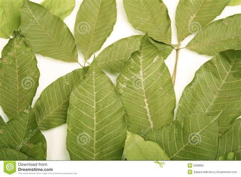 leaf rubber st rubber leaf stock photography image 2698862