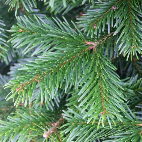 stores selling real christmas trees nordmann fir real tree available today