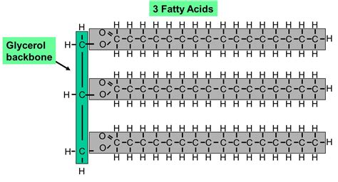 triglyceride molecule diagram starch pmg biology