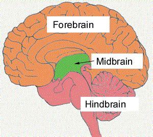 diagram of forebrain midbrain
