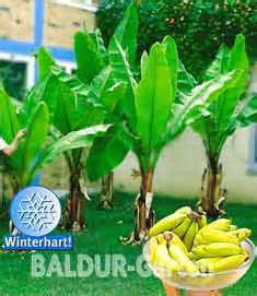 Garten Pflanzen Konstanz by Sie Suchen Winterharte Bananenpflanzen In Konstanz