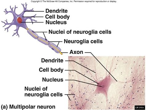 nervous tissue labeled diagram nervous tissue diagram nervous get free image about