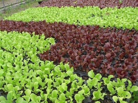 coltivare lattuga in vaso coltivare insalata orto frutteto coltivare